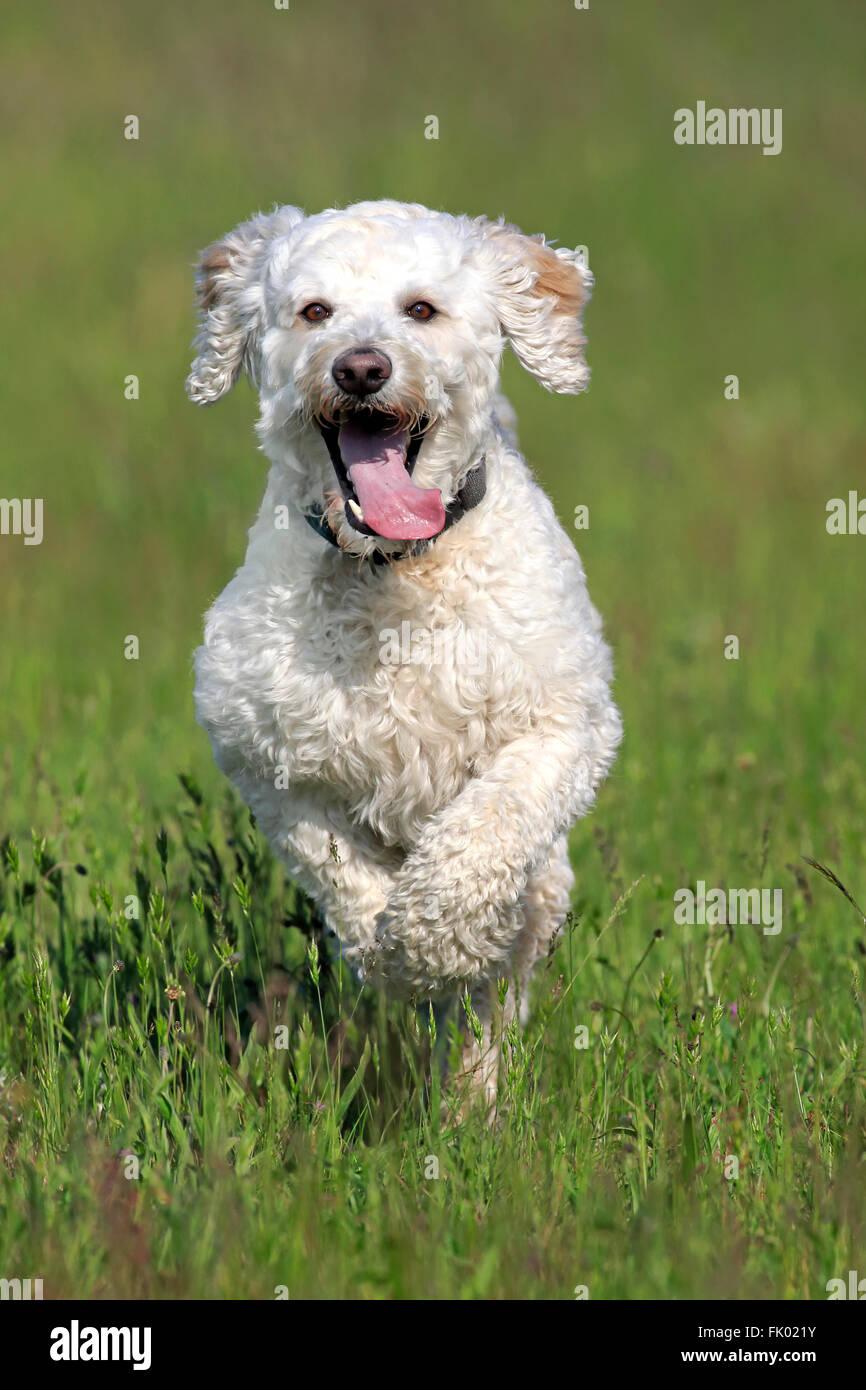 Labradoodle Male Labrador X Standard Poodle Cross Stock