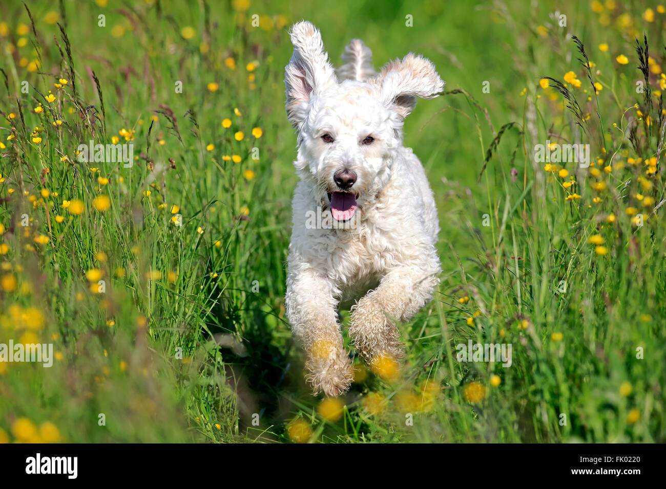 Labradoodle, male / (Labrador x standard poodle cross) Stock Photo