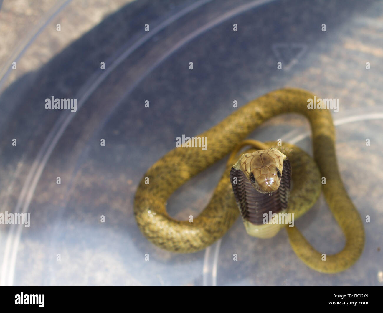 Juvenile Cape Cobra (naja nivea), captured in a bucket. Cape Cobra is an extremely venomous snake, and bites are - Stock Image