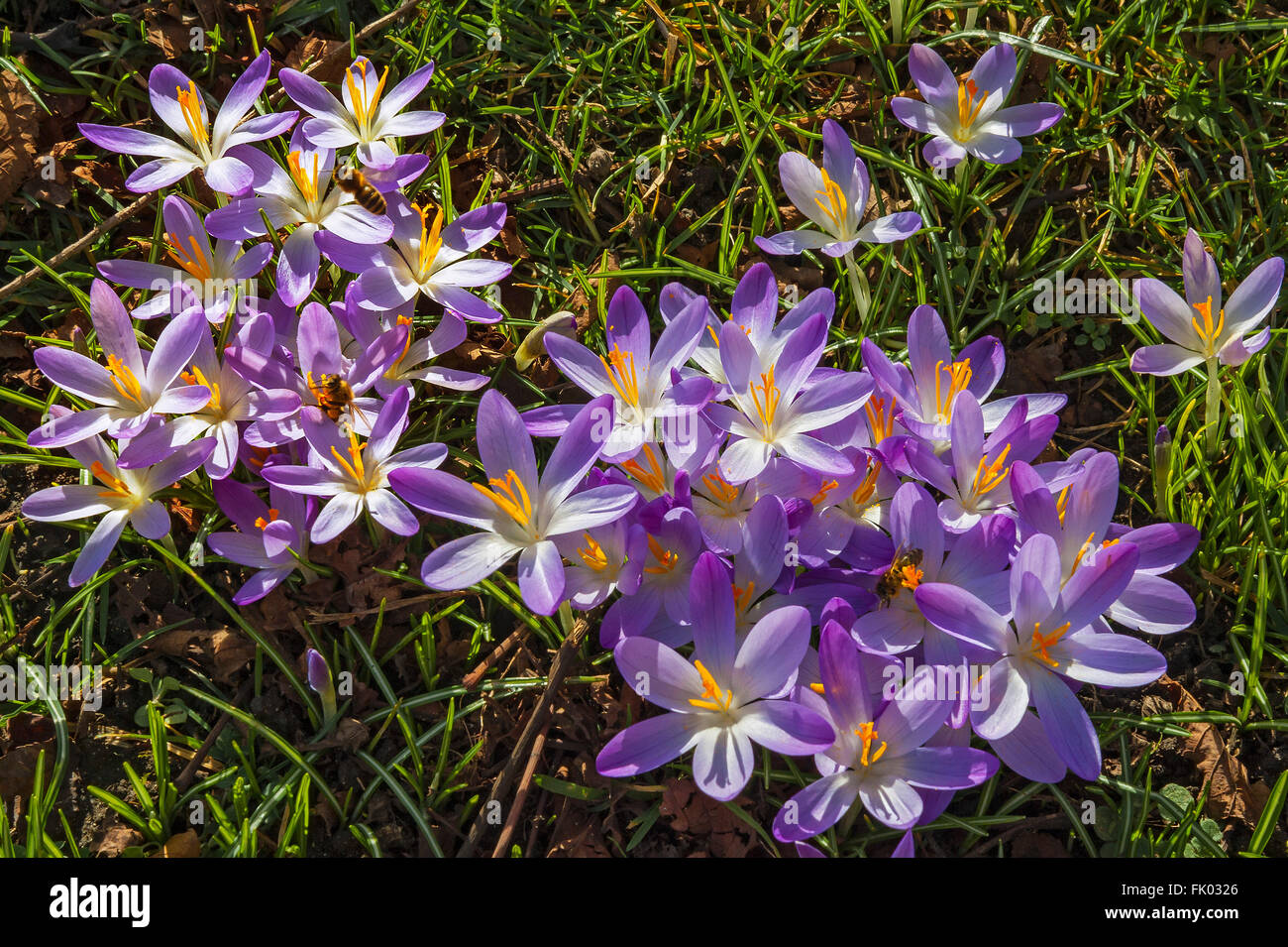 Blossoming crocuses (Iridaceae), with bees, Bavaria, Germany - Stock Image