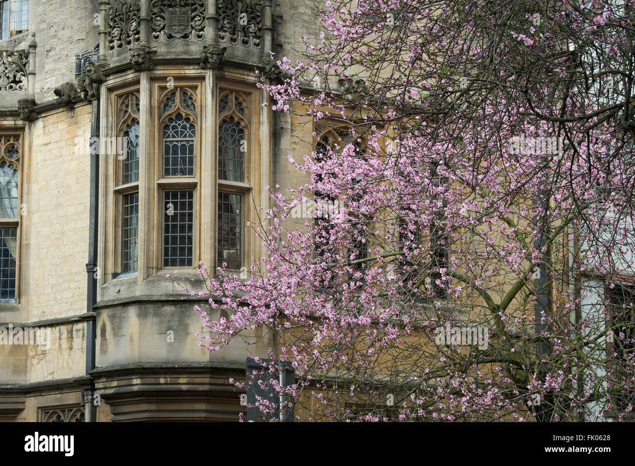 Almond Tree in blossom outside St Marys Church, High Street, Oxford, England - Stock Image