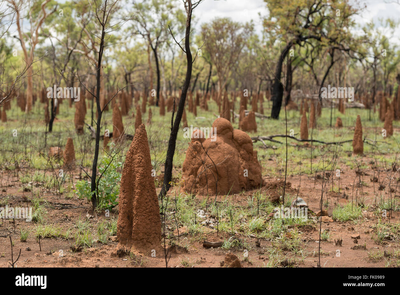 Termite Mounds in amongst freshly burnt gum trees the Northern Territory. A common sight in the Top End of Australia, - Stock Image