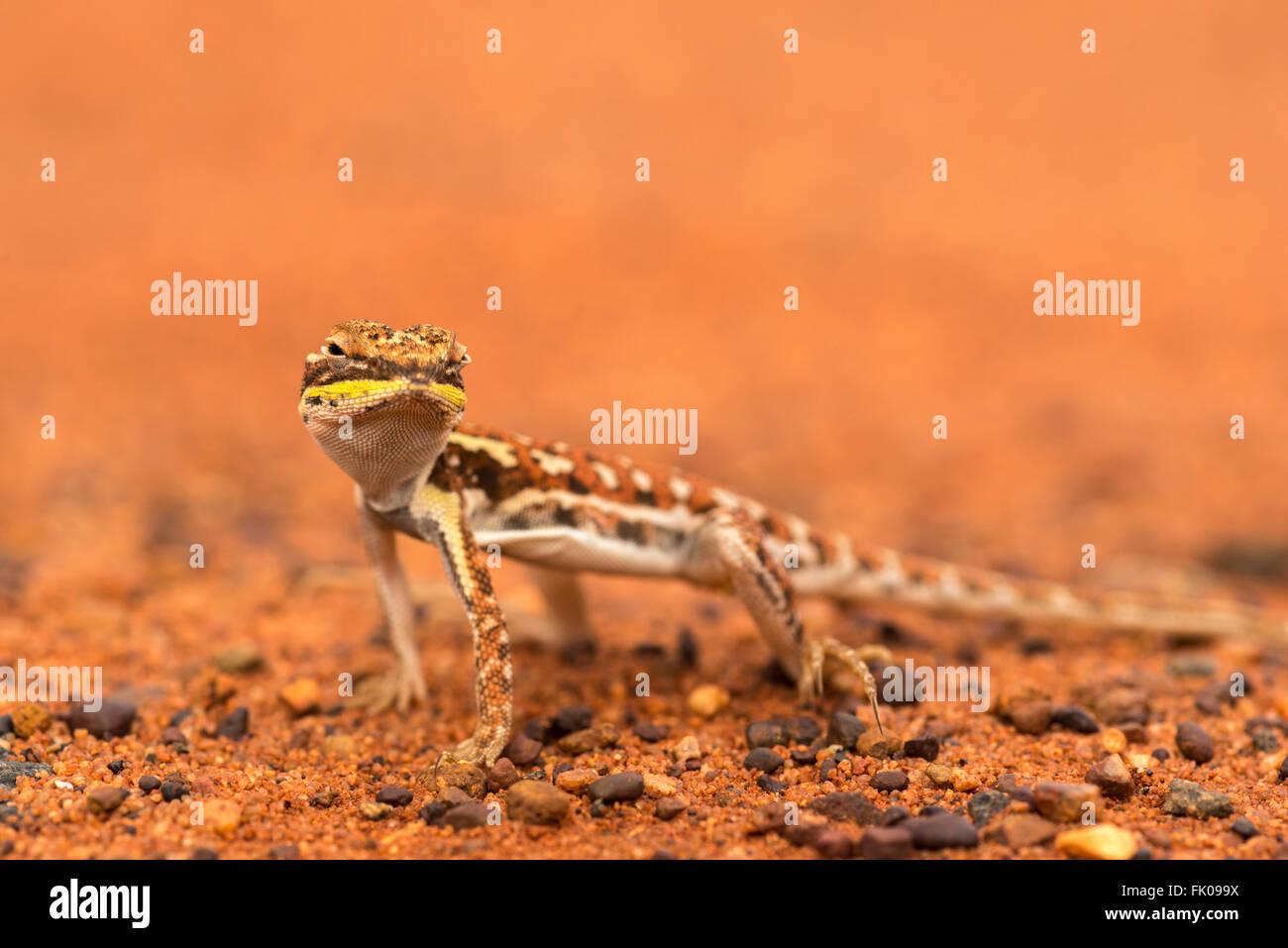 Military Dragon (Ctenophorus isolepis gularis) in Outback Uluru - Stock Image