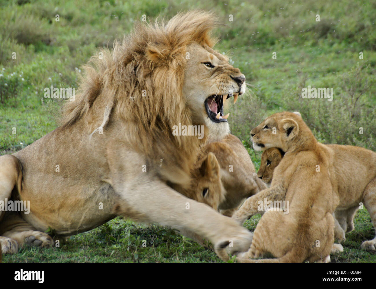 Male lion snarling at cubs, Ngorongoro Conservation Area (Ndutu), Tanzania - Stock Image