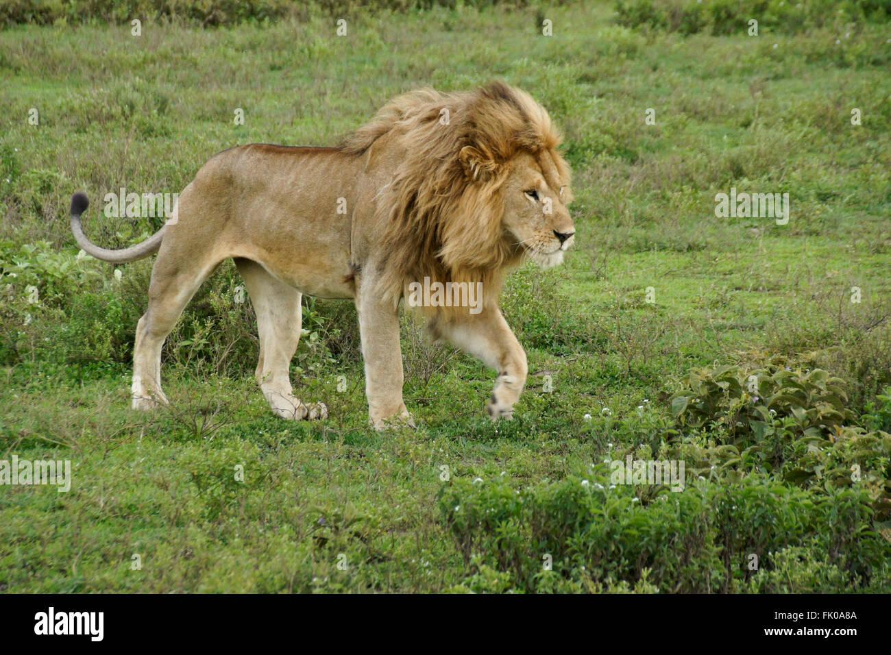 male lion walking ngorongoro conservation stock photos male lion