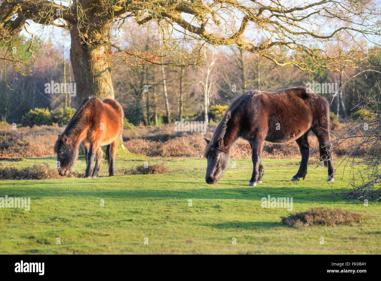 wild New Forest ponies grazing near Lyndhurst, Hampshire, England, UK Stock Photo