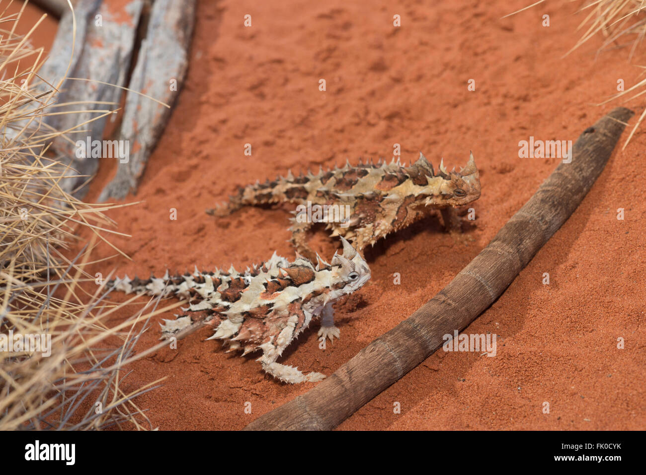 Thorny dragon or thorny devils in captivity at Alice Springs Desert Park.  The thorny dragon or thorny devil (Moloch - Stock Image