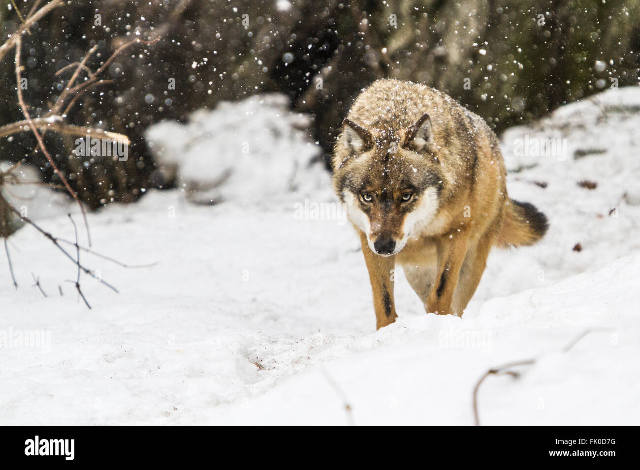 European grey wolf (Canis lupus)walking during a snowstorm in the forest. - Stock Image
