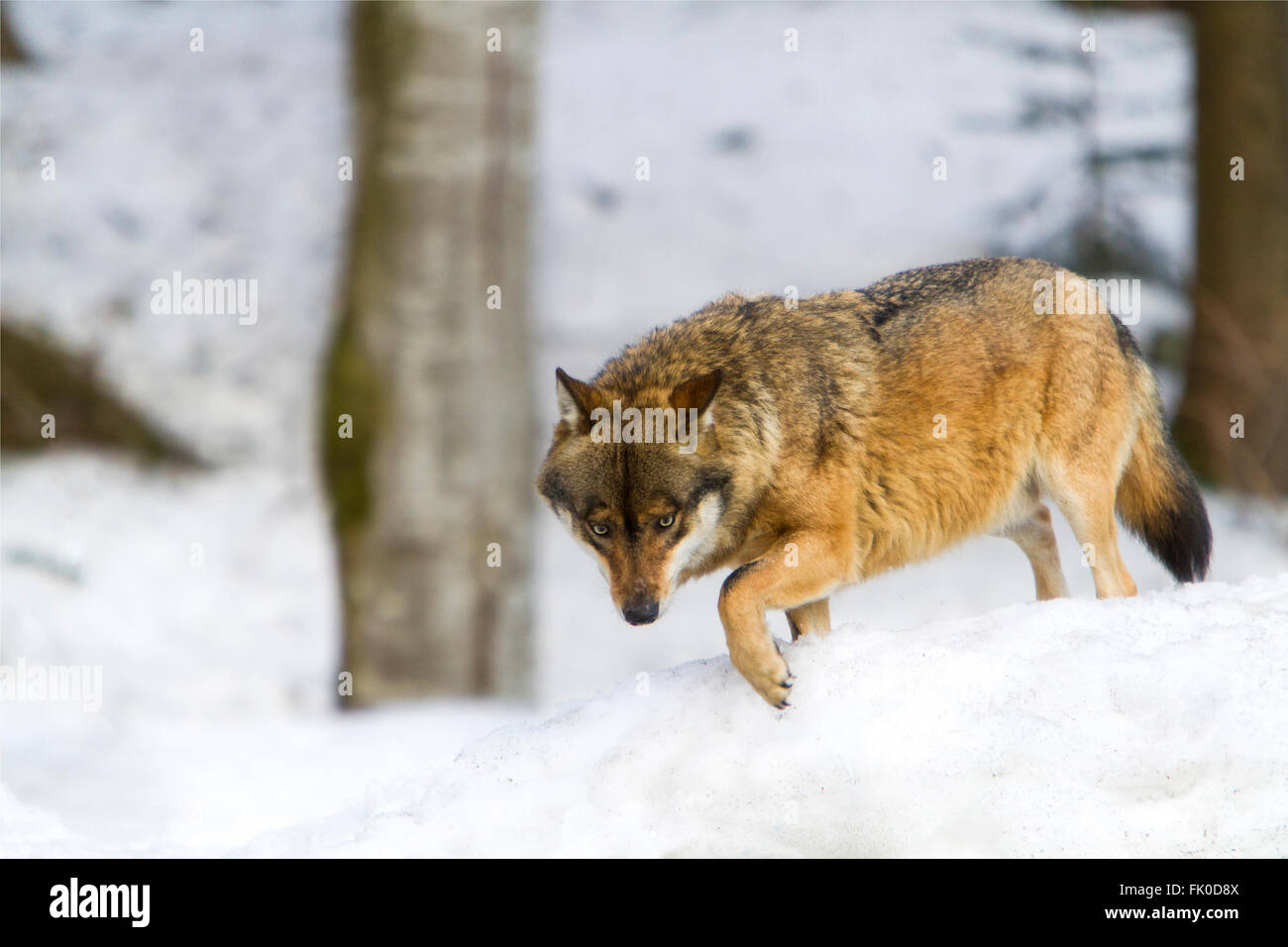 European grey wolf (Canis lupus)walking in a snowly forest in winter time - Stock Image