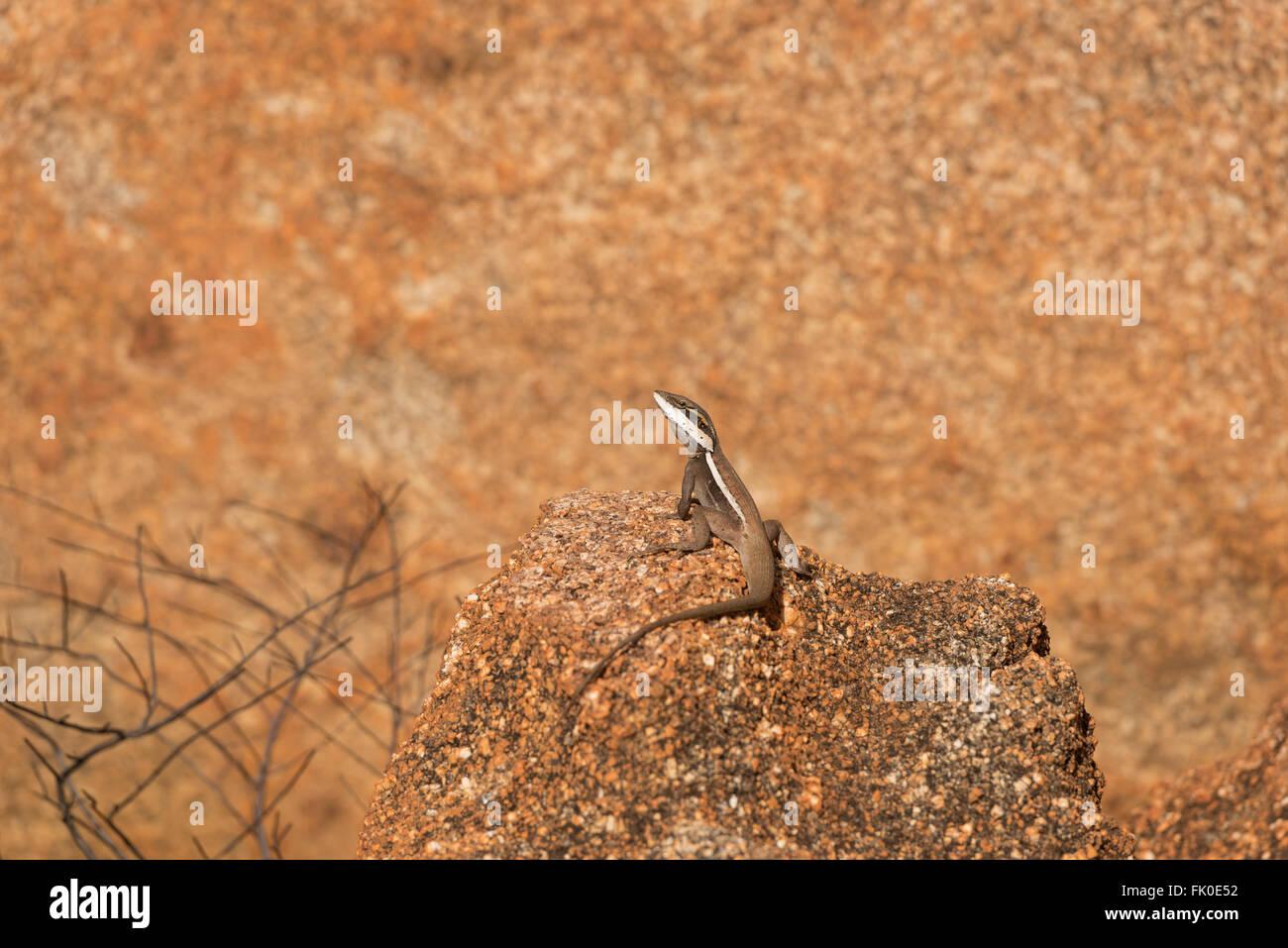 Long-nosed Dragon (Amphibolurus longirostris) on a granite boulder of the Devils Marbles. - Stock Image