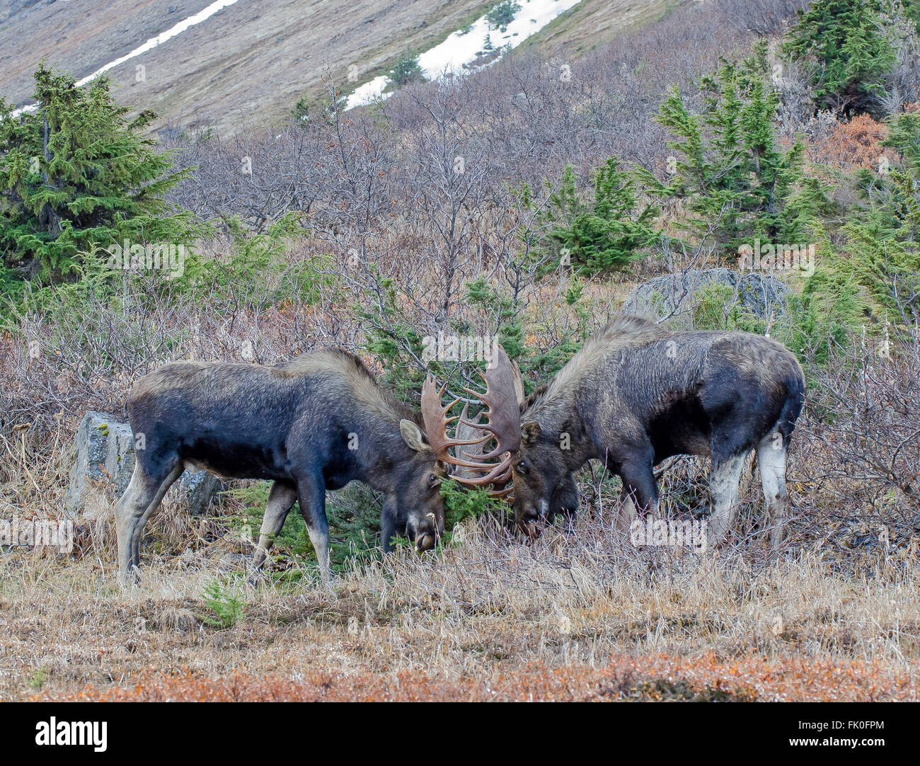 Bulll moose during the rut season - Stock Image
