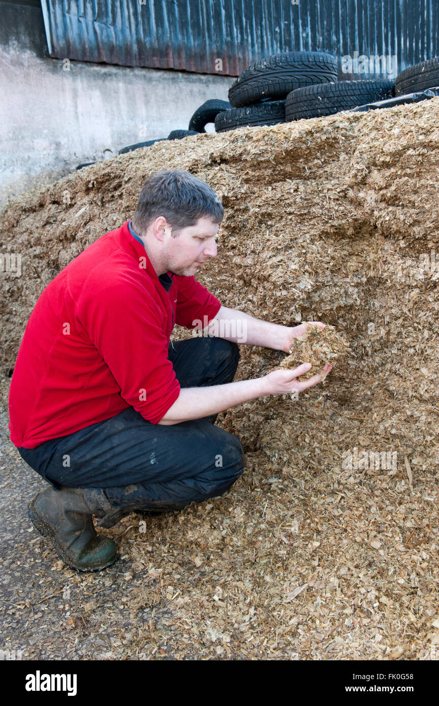 Farmer inspecting clamp of maize silage to be used for feeding dairy cattle. Cumbria, UK - Stock Image