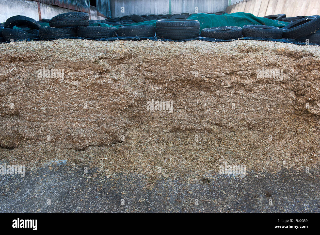 Clamp of maize silage, to fed to dairy cattle, Cumbria, UK. - Stock Image