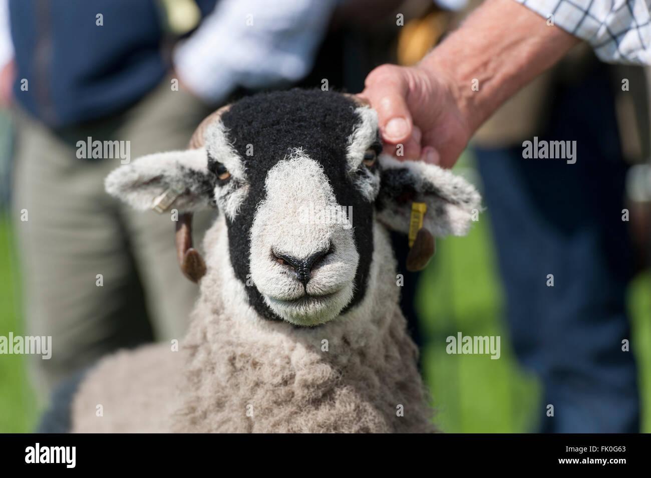 Black Nose Sheep Stock Photos Black Nose Sheep Stock