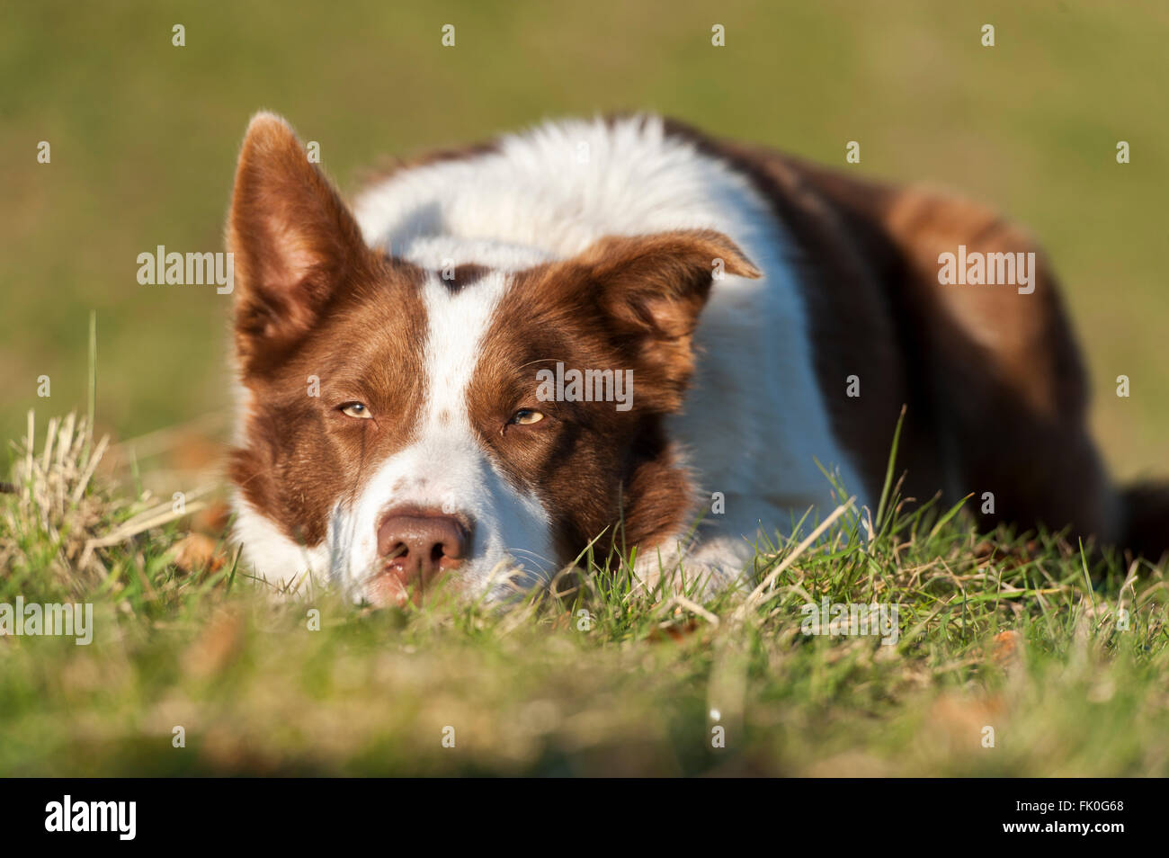 Red and white Border collie sheepdog laid watching sheep. Yorkshire, UK. - Stock Image