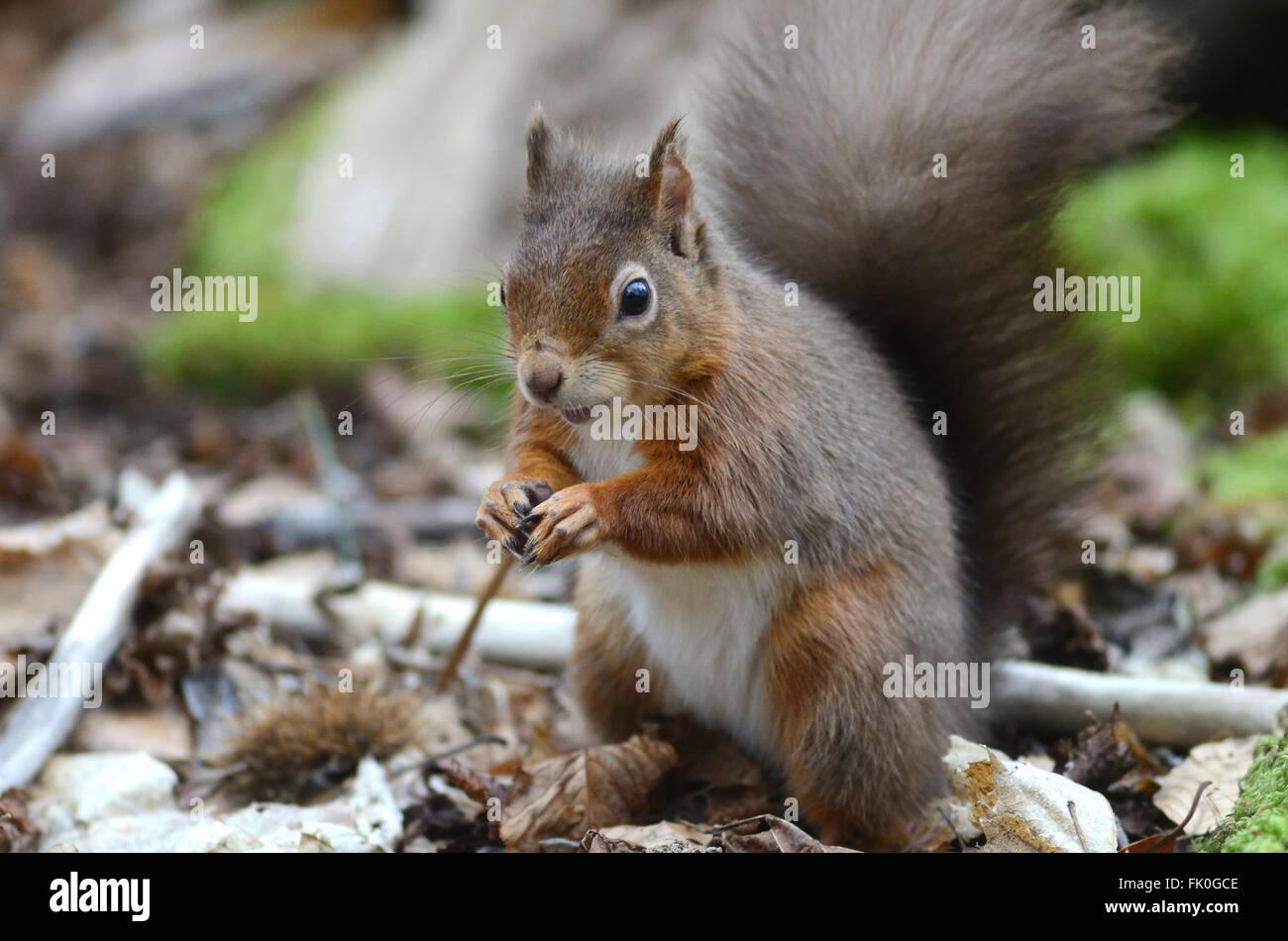 Red squirrel. Brownsea Island, Dorset, UK February 2014 - Stock Image