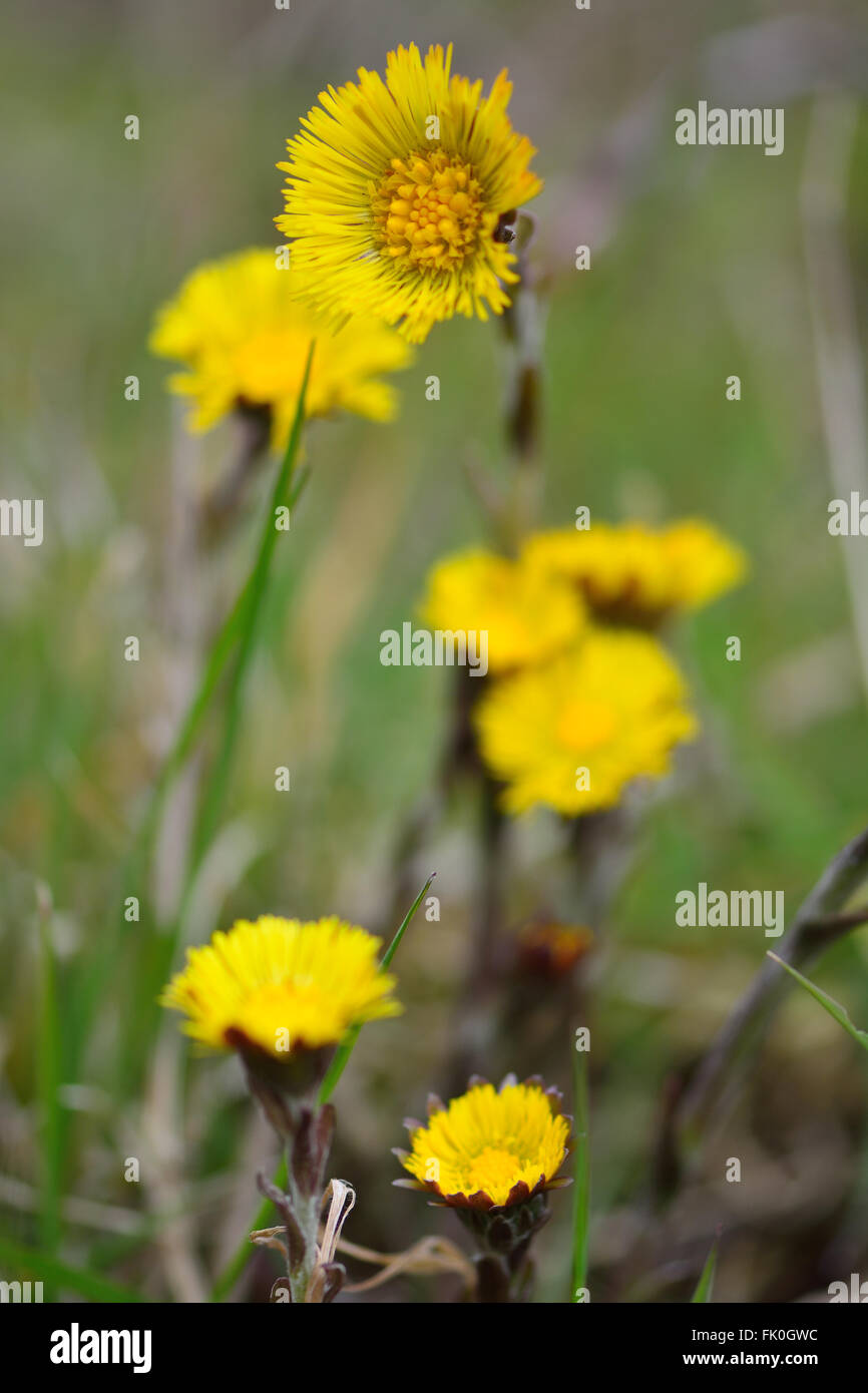 Coltsfoot tussilago farfara a yellow early spring flower in the a yellow early spring flower in the daisy family asteraceae a plant with a long history of use izmirmasajfo