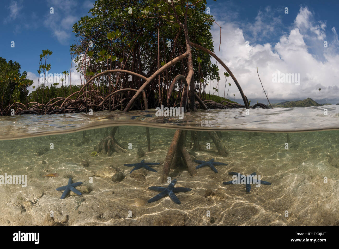 Split level - blue starfish (Linckia laevigata) scattered in the shallow white sands and a mangrove tree with its - Stock Image