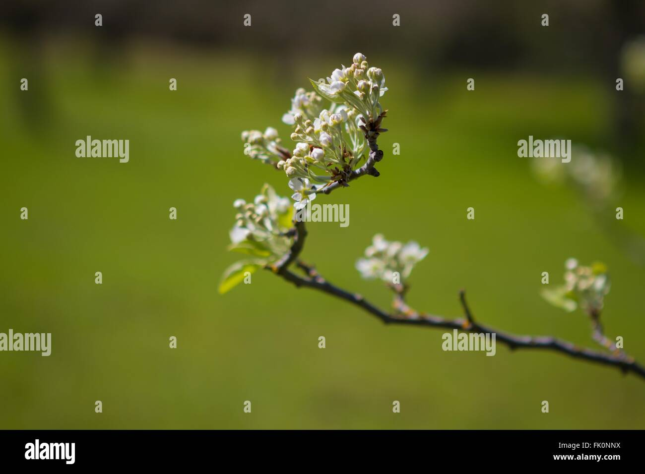 Blossom, Historic Monroe Orchard, Marshall Gold Discovery State Historic Park, Coloma, California - Stock Image