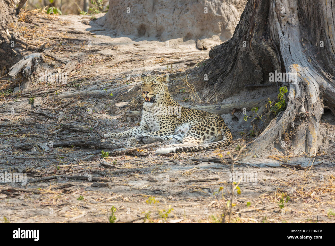 Leopard (Panthera pardus) lying in the shade of a tree near Zarafa Camp on the Selinda Reserve, Okavango Delta, Stock Photo