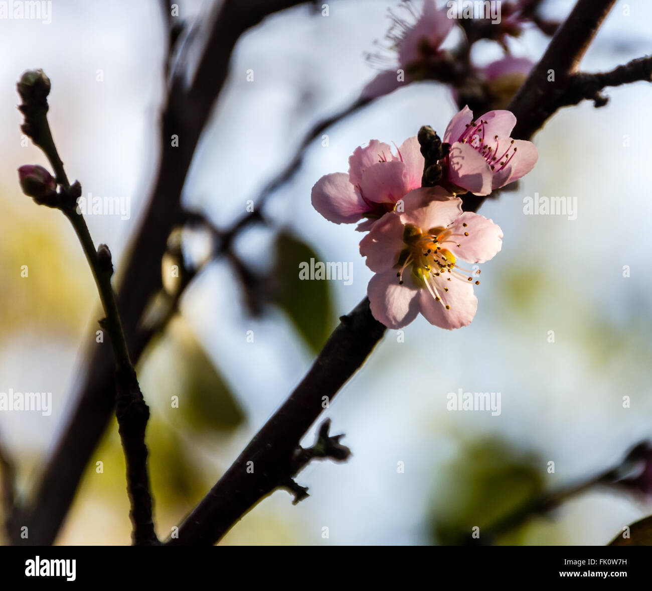 The blossoms of a peach tree - Stock Image