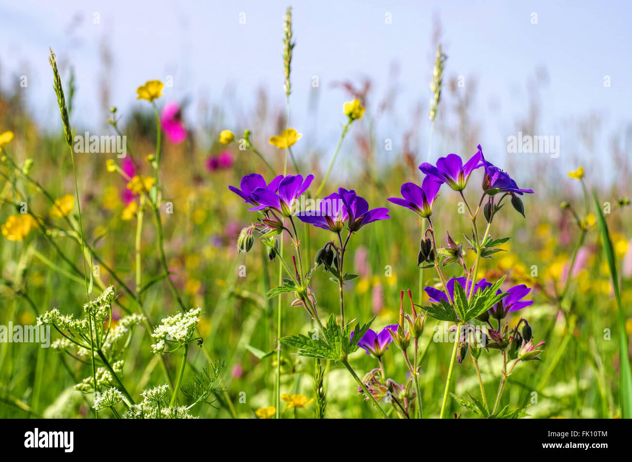 Bergwiesen im Frühling - spring flower meadows in mountains in many colours - Stock Image