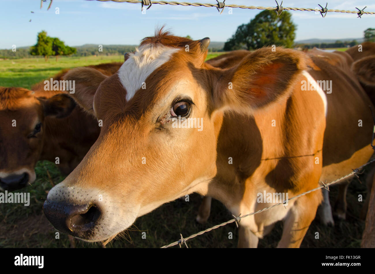 young Jersey cows on a farm near a barbed wire fence - Stock Image