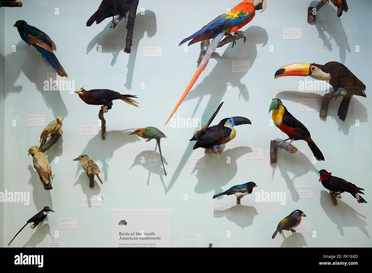 Natural History Museum stuffed South American rain forest birds collection in London - Stock Image