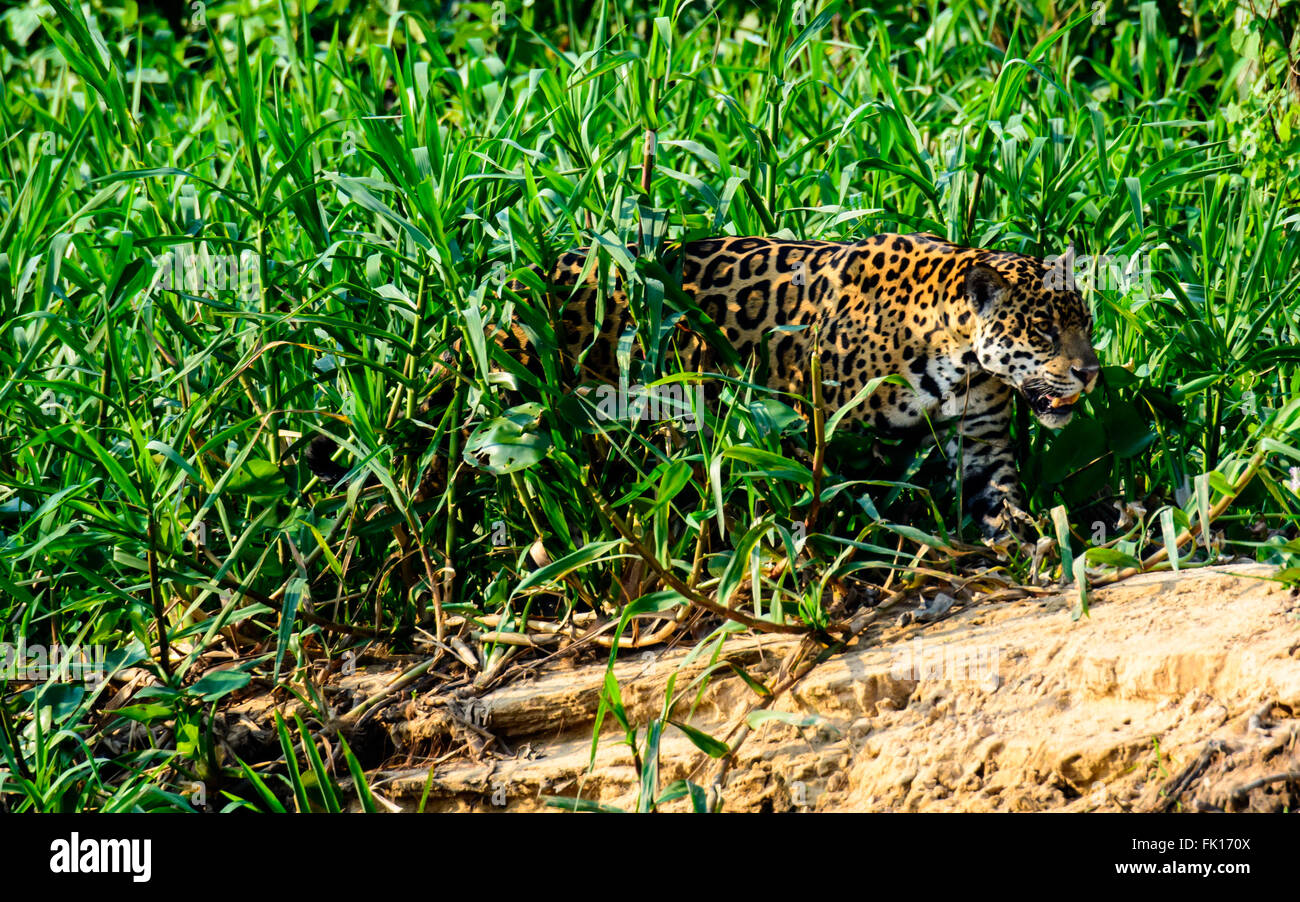 Jaguar emerges from the undergrowth - Stock Image