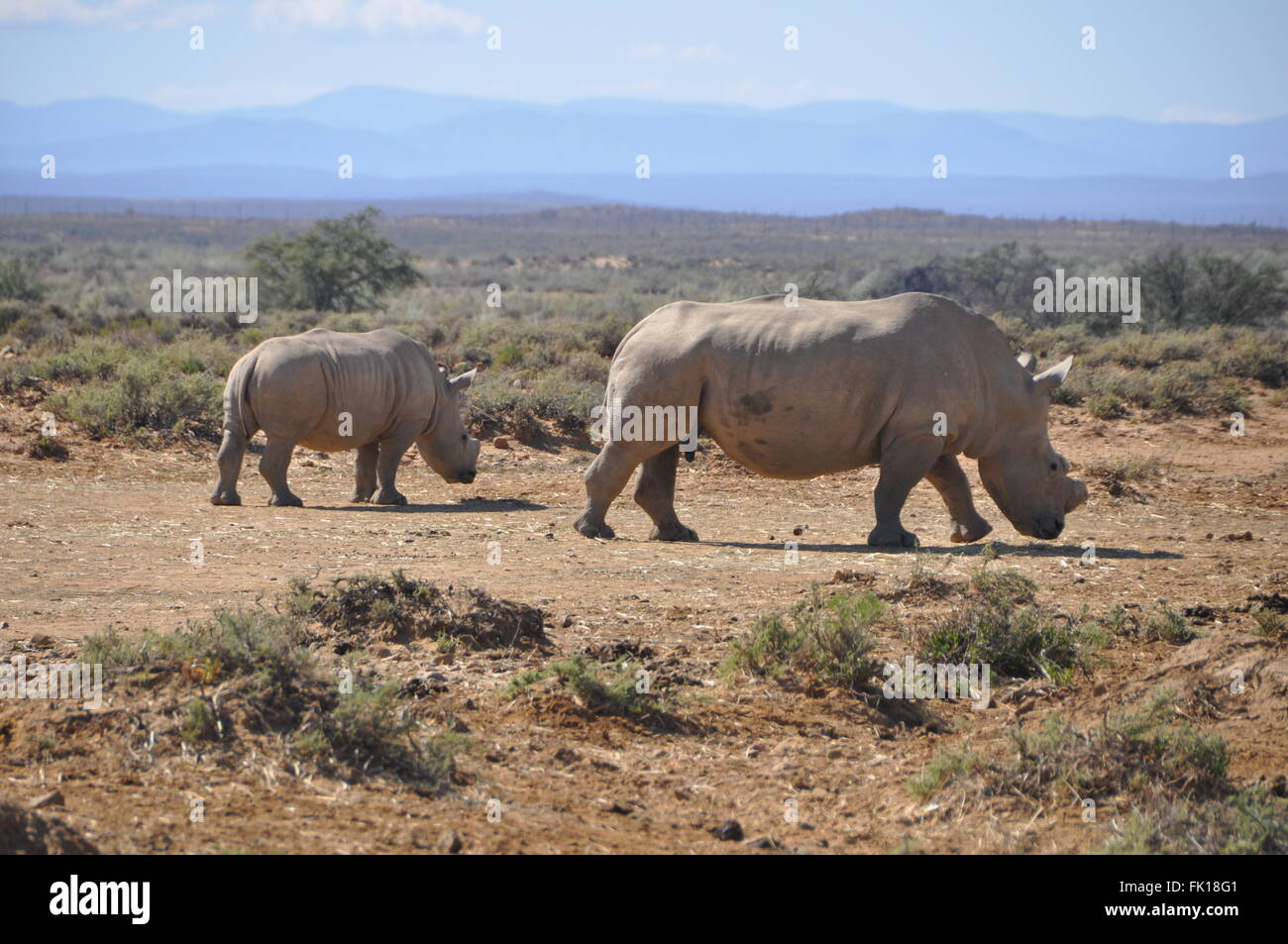 A mother Rhino walks with her child - Stock Image