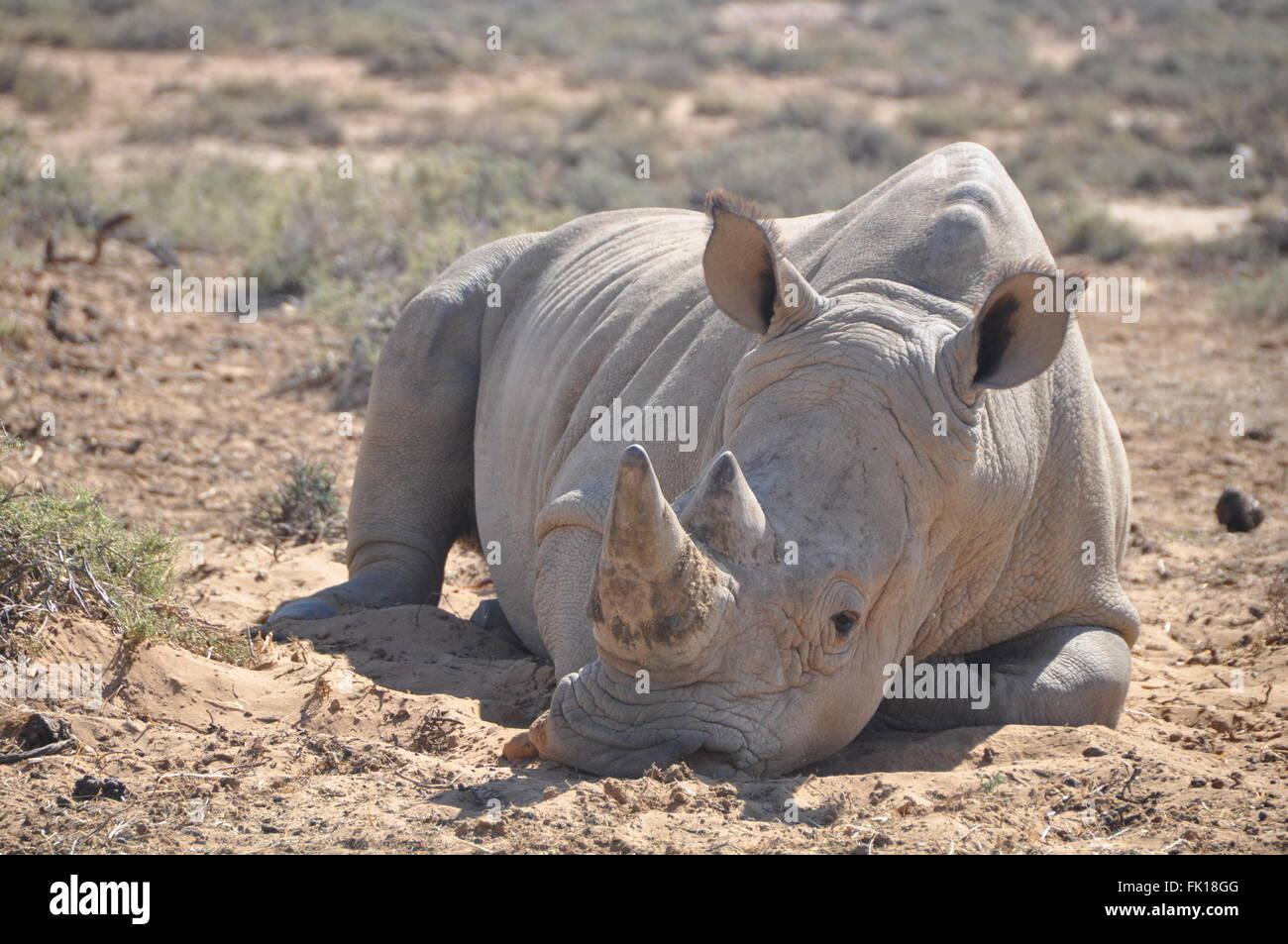 African Rhino relaxing in the Sun - Stock Image