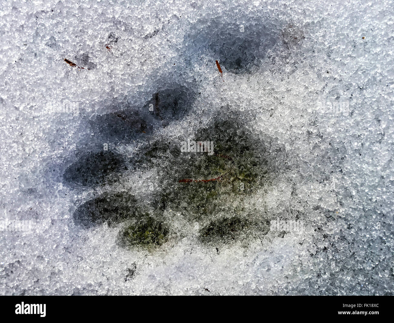 A cats paw print in the snow.  He is polydactyl and has seven toes which show in the print. - Stock Image