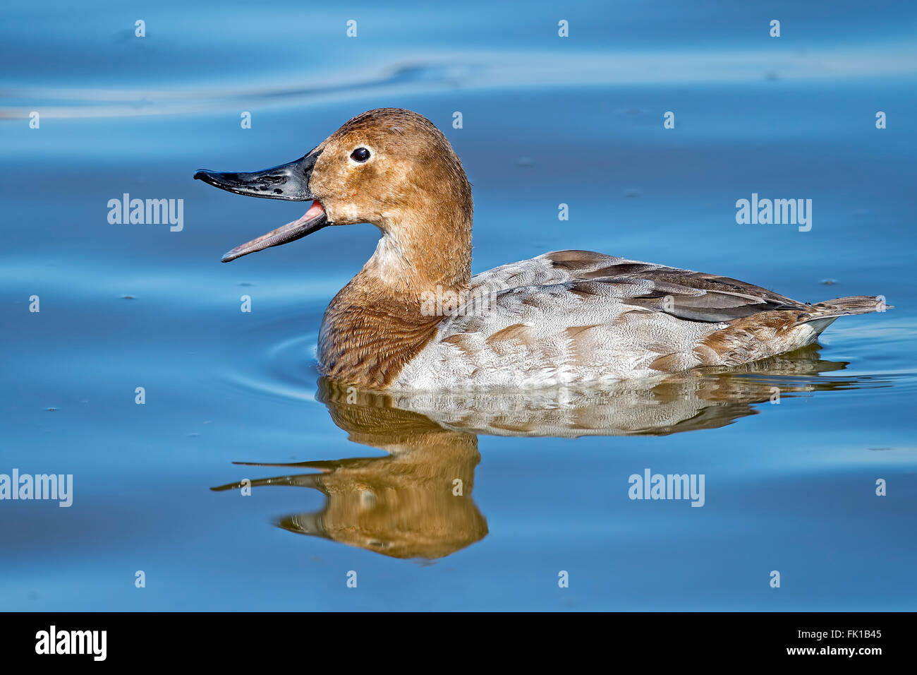Female Canvasback Duck - Stock Image