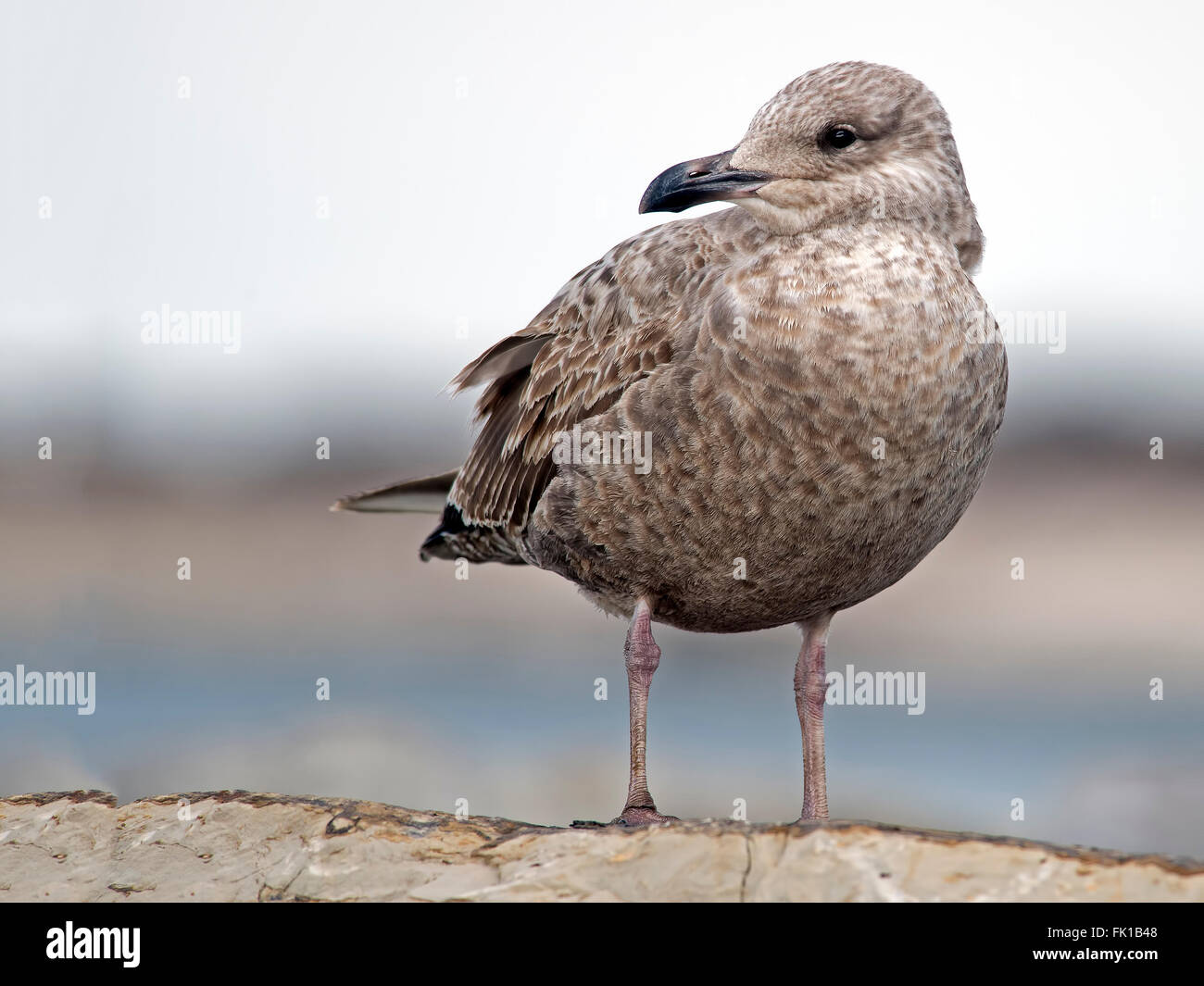 Herring Gull on Jetty - Stock Image
