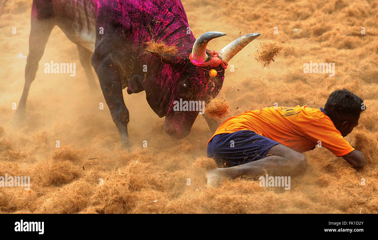 Jallikattu /taming the bull is a 2000 year old sport in Tamilnadu,India.It happens during pongal (harvest festival) - Stock Image