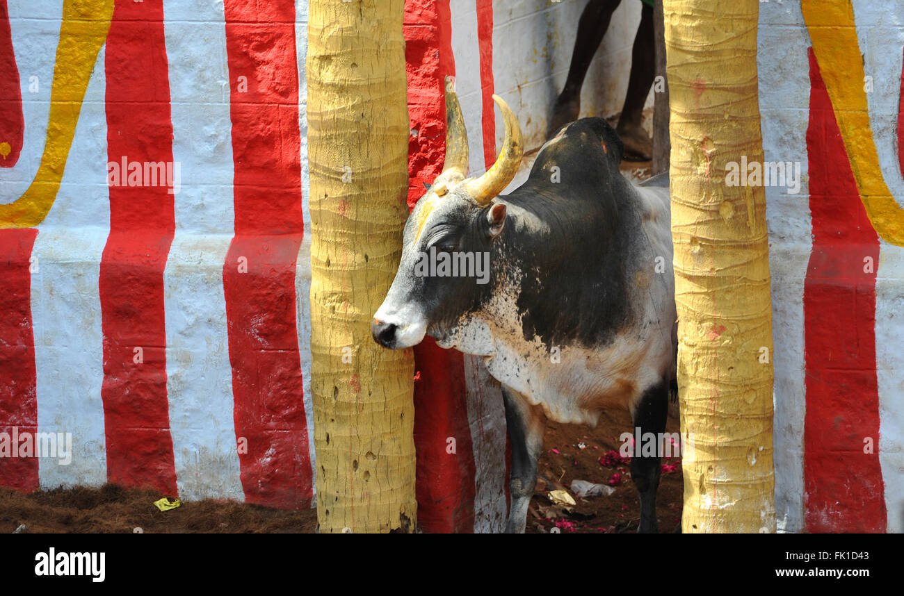 Portrait of a Jallikattu Bull.  Jallikattu or Taming the bull is one of the oldest living ancient sports seen in - Stock Image