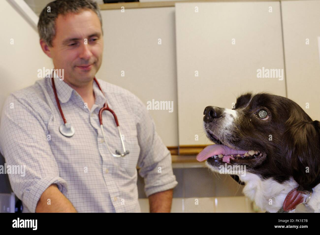 Veterinarian inspecting a Springer spaniel in his clinic, Wiltshire, UK - Stock Image