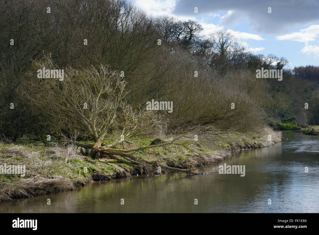 Willow tree (Salix sp.) felled by Eurasian beavers (Castor fiber) on the banks of the River Otter, Devon, UK, March. - Stock Image