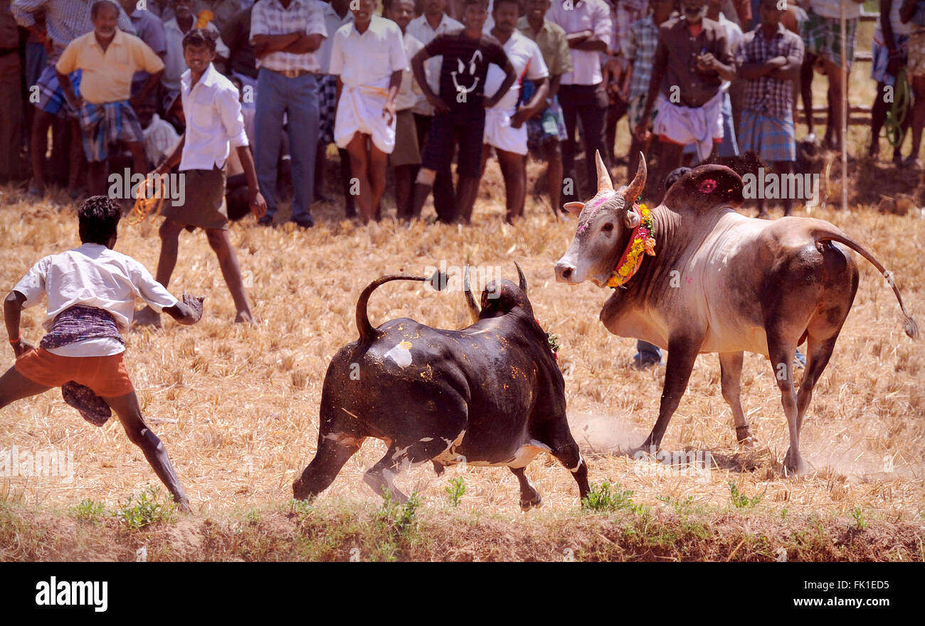 Manju Virattu; This version of Jallikattu is more popular in the southern districts  of TN. bull is released in Stock Photo