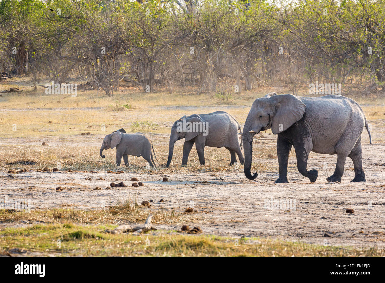 Elephant family (Loxodonta africana): adult, juvenile and baby, Zarafa Camp, Selinda Reserve, Okavango Delta, northern - Stock Image