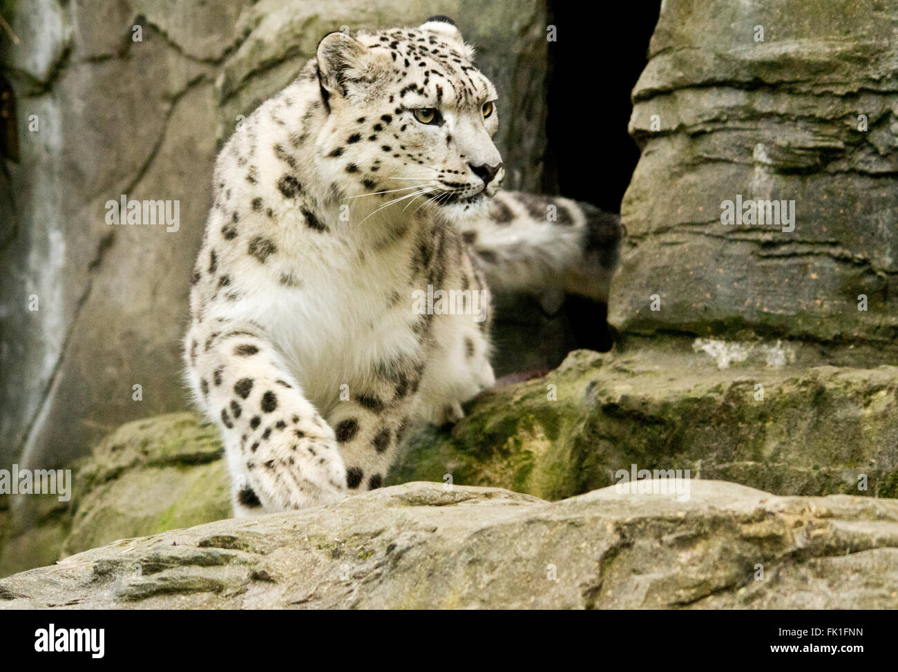 Snow leopard from the front view in landscape format leaving den. Captured animal enclosure at Marwell zoo. Conservation - Stock Image