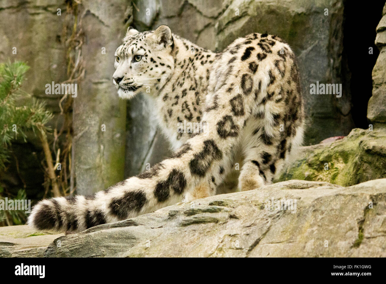 Snow leopard showing long detailed tail in foreground. Landscape format. Big white cat with black markings in captive - Stock Image