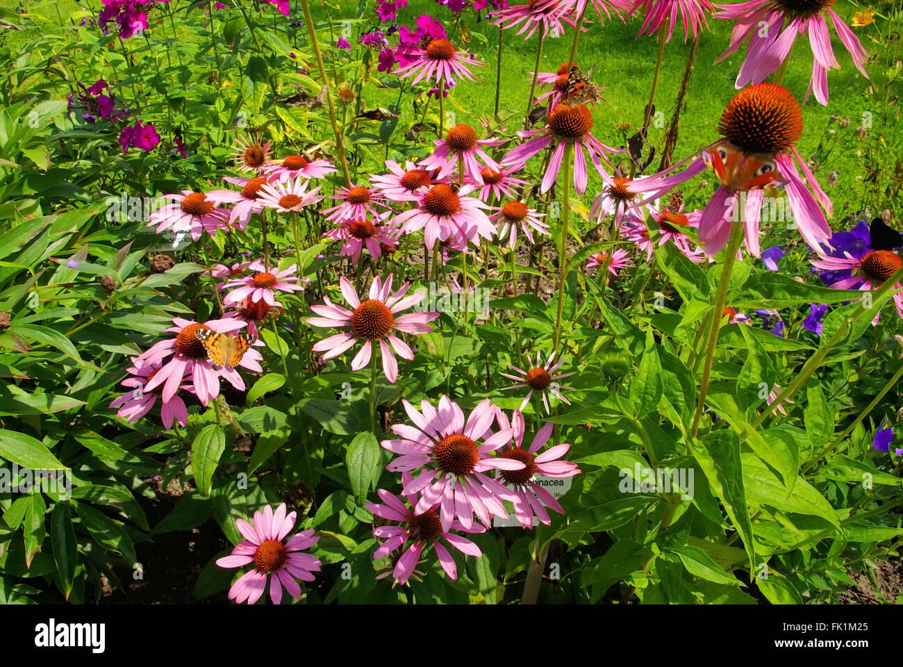 Sonnenhut Purpur - Purple Coneflower 23 - Stock Image