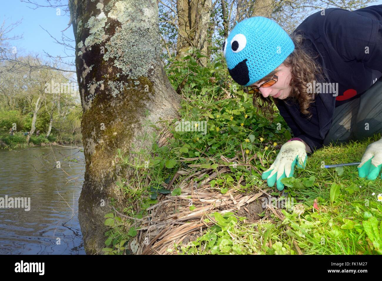 Active Water vole (Arvicola amphibius) burrow on the banks of a small lake inspected during a survey after a UK - Stock Image