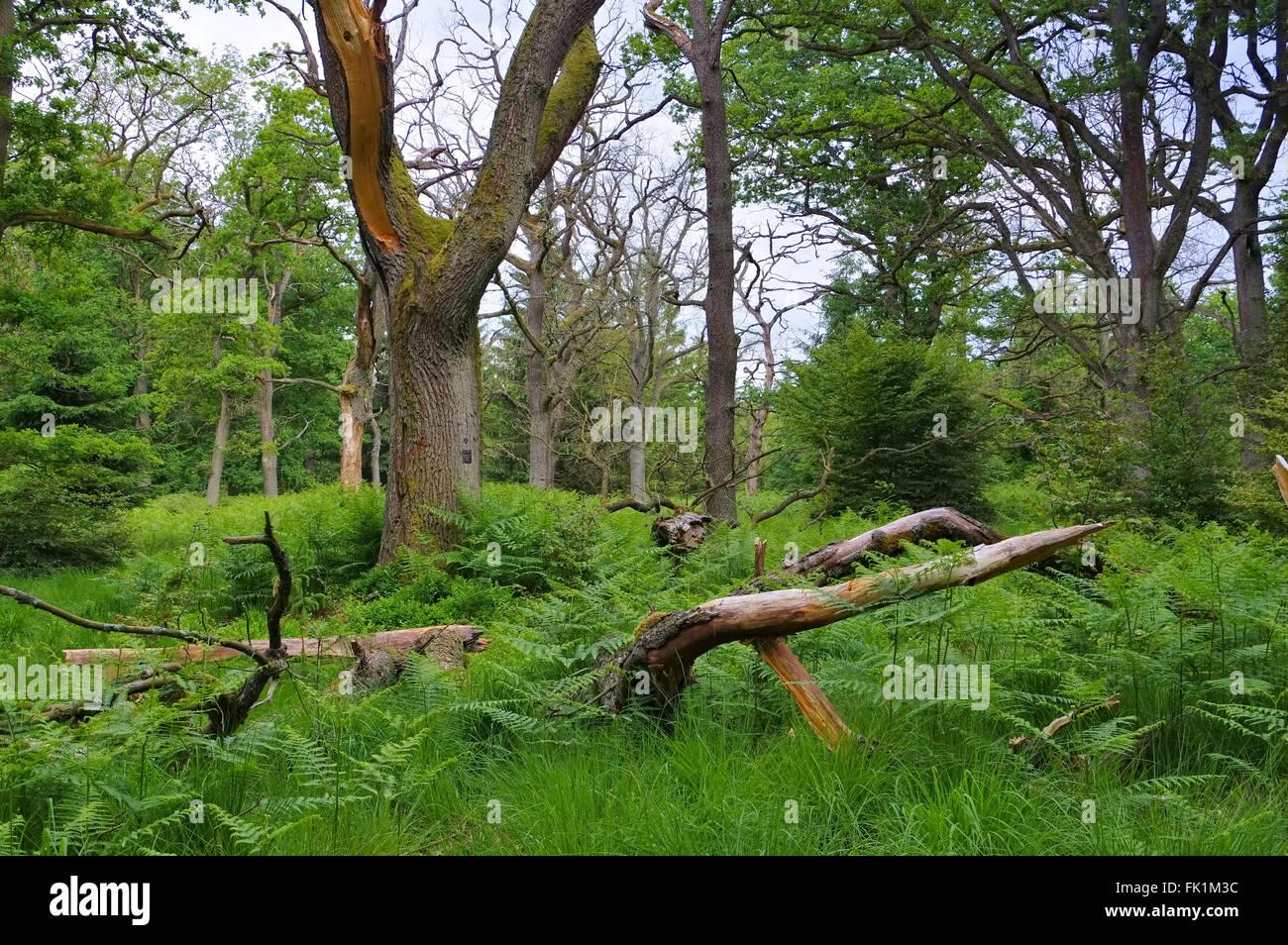 Urwald Sababurg in Deutschland - ancient forest of Sababurg in Germany - Stock Image