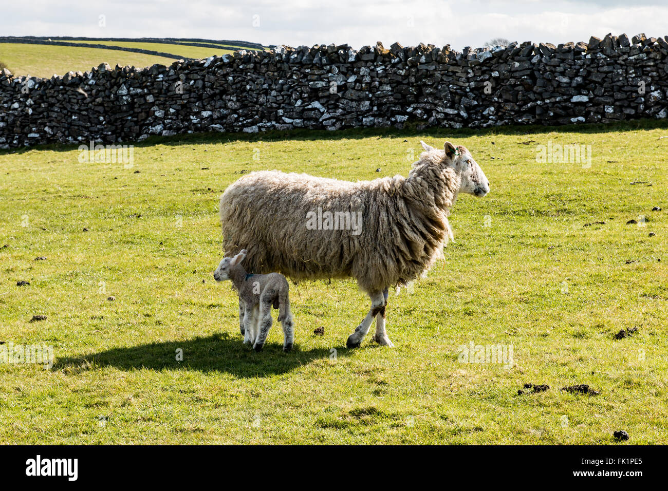 sheep ewe lamb in field Derbyshire green field stone wall sunny part cloud sky - Stock Image