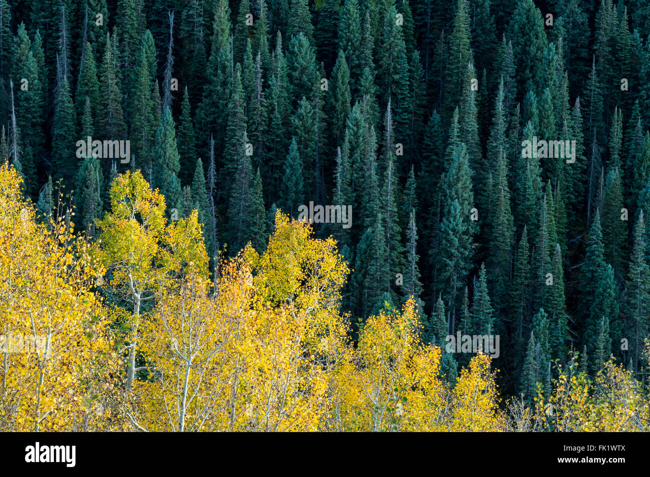 Fall colors contrasting against a green pine forest. - Stock Image
