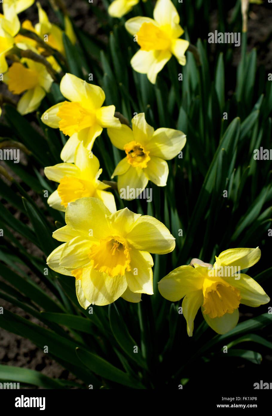 spring yellow flowers, close up - Stock Image