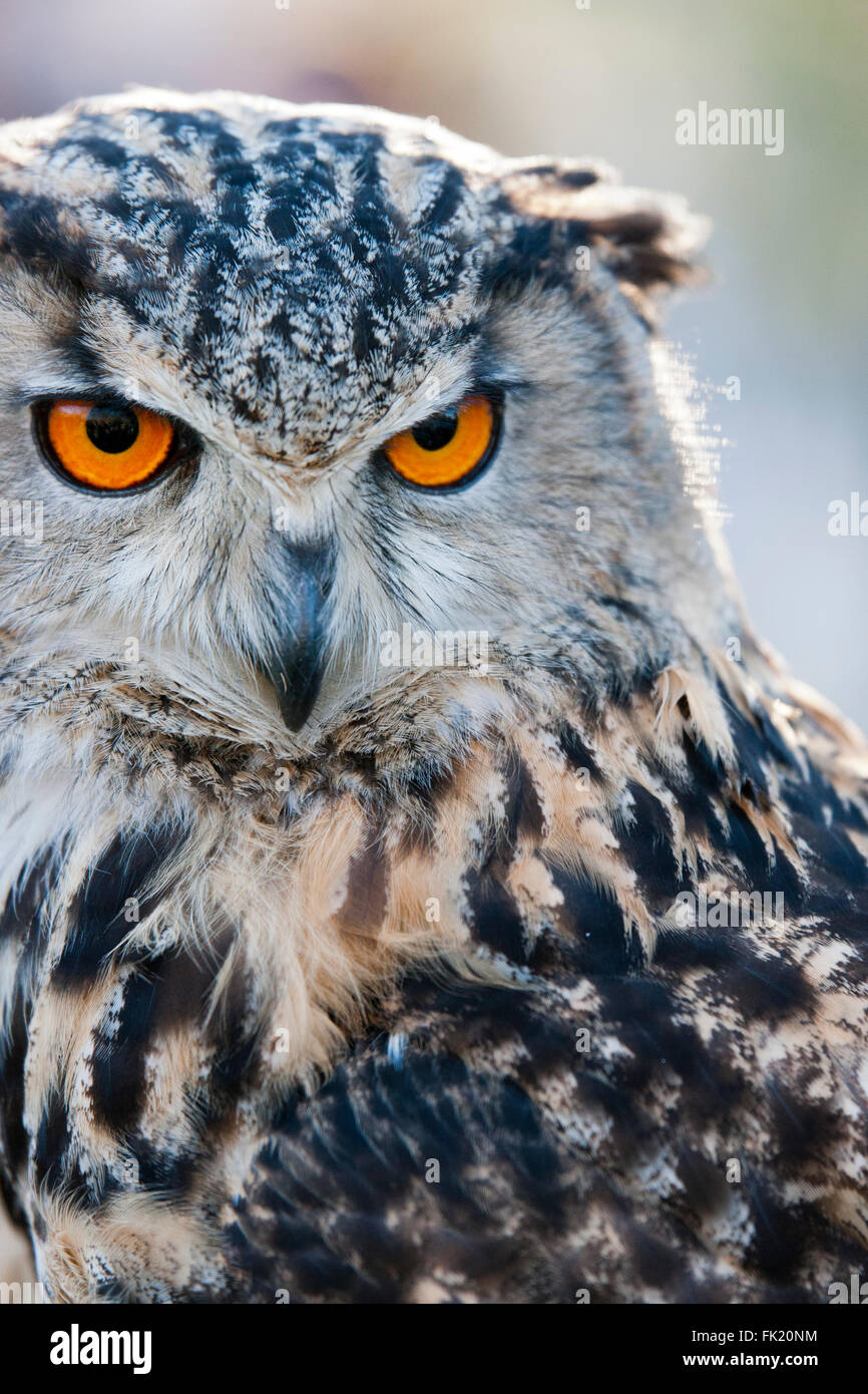 Eagle owl portrait - Stock Image