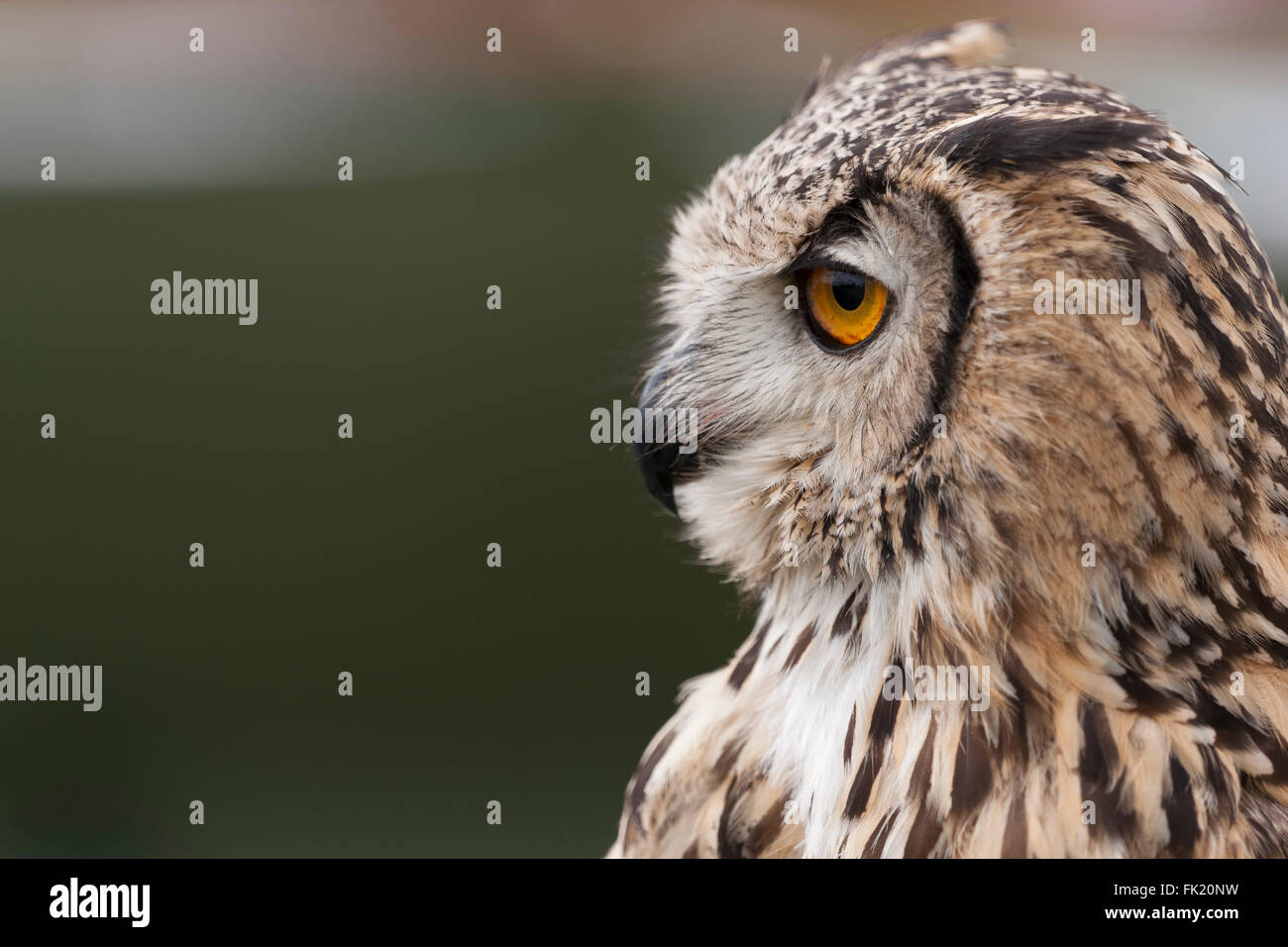 Indian Eagle Owl portrait showing it's curved beak and large eyes - Stock Image